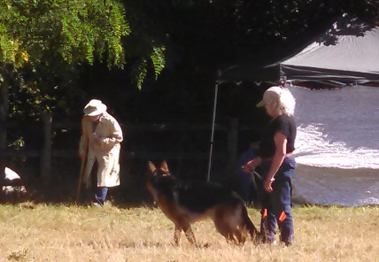 German Shepard in dog obedience training in Washington, State.
