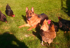 Ellie Guarding Chickens
